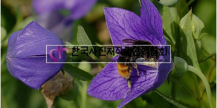 도라지 꽃 by 포토진